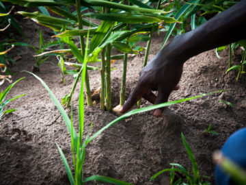 Hope is growing out of cracked soil in northern Uganda