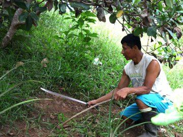 A Peruvian man crouches in a field cutting crops.