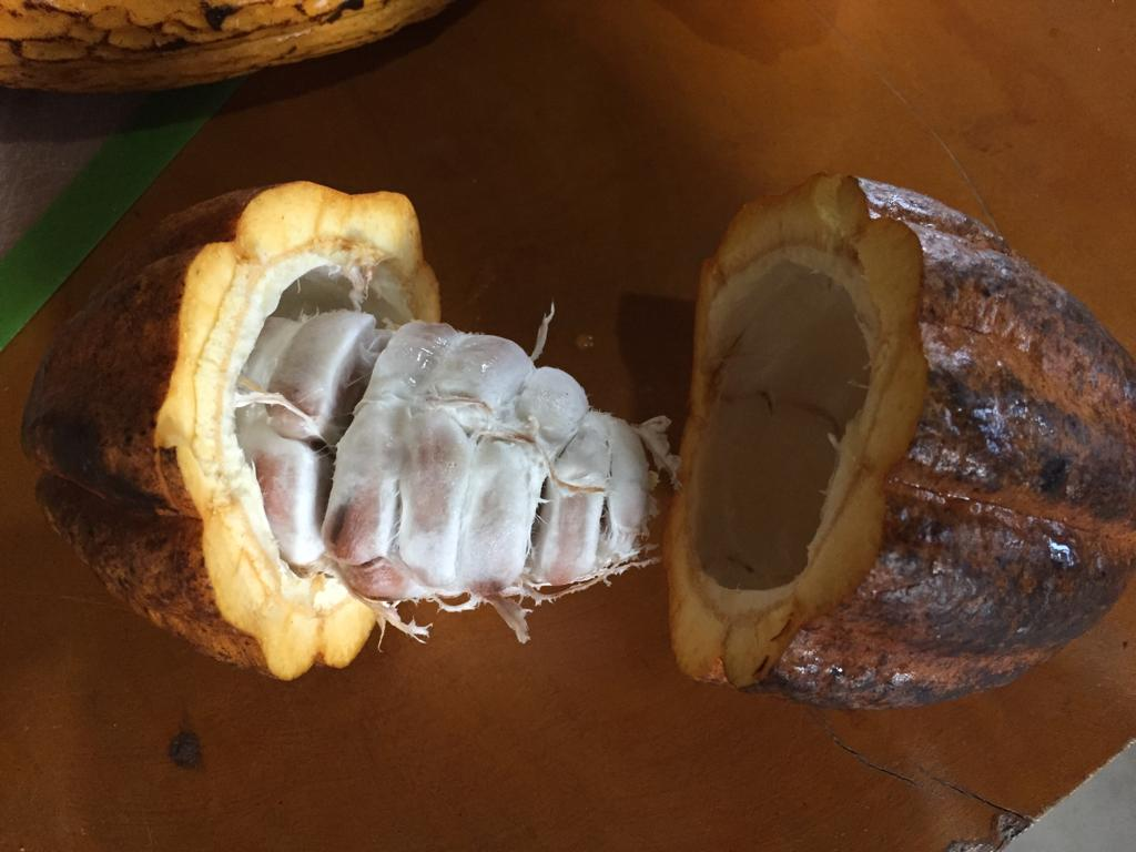 A cacao pod opened up to show its seeds.