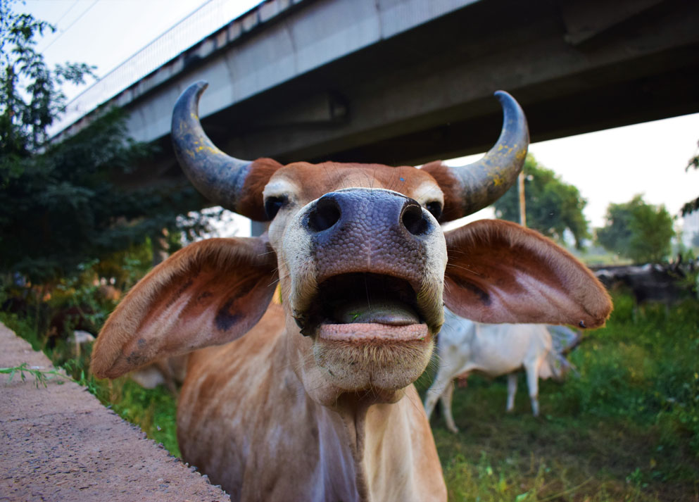 Close-up of a cow's face with a wall and bridge in the background