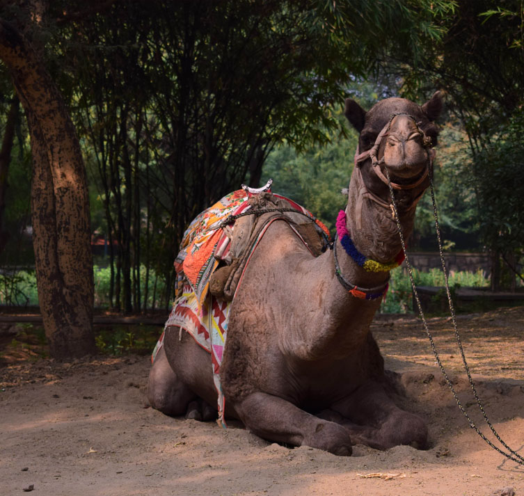 A camel with a colourful saddle sits in the sand in the shade of some trees in India.